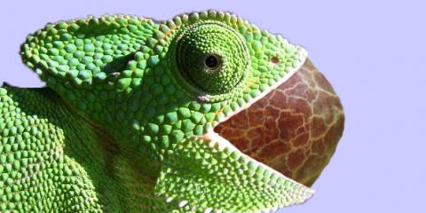kameleon met avocadopit in mond uitgelicht